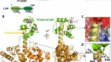 Fig. 3. Structure of the P1aABD/CaM complex. (A) Schematic illustrations of plectin and CaM domains; CH: calponin homology domain, PD: plakin domain, ROD: coiled-coil rod domain, and CTD: C-terminal domain. (B) Crystal structure of the P1aABDΔ22/CaMNL complex is displayed in different orientations (90° rotated along Y-axis); CH1 and CH2 in ABD are coloured in bright-orange and orange, respectively, the N-terminal tail in yellow and CaMNL in green. Ca2+ is presented as a violet sphere. (C) The binding interface of P1aABDΔ22/CaMNL complex; CaMNL is shown in electrostatic potential surface and two residues (Leu25 and Val29) of plectin are varied into CaMNL. (D) A salt bridge is established between CaM Glu14 and plectin Arg40 (2.7 Å apart). CaM Glu14 is involved in the cross-linking with plectin Lys36 (5.7 Å apart) and plectin Lys37 (7.0 Å) by EDC/sNHS. (Jae-Geun Song, Julius Kostan, Friedel Drepper, Bettina Knapp, Euripedes de Ribeiro, Peter Konarev, Irina Grishkovskaya, Gerhard Wiche, Martin Gregor, Dmitri I. Svergun, Bettina Warscheid, Kristina Djinovic-Carugo1: Structural Basis of Calcium-Calmodulin Regulation of Hemidesmosome Disassembly. Structure, 2015)