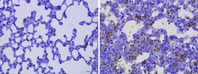 Mikrofotografie (zvětšení 400x) plicních tkání myší 8 dní po infekci SARS-Cov-2.